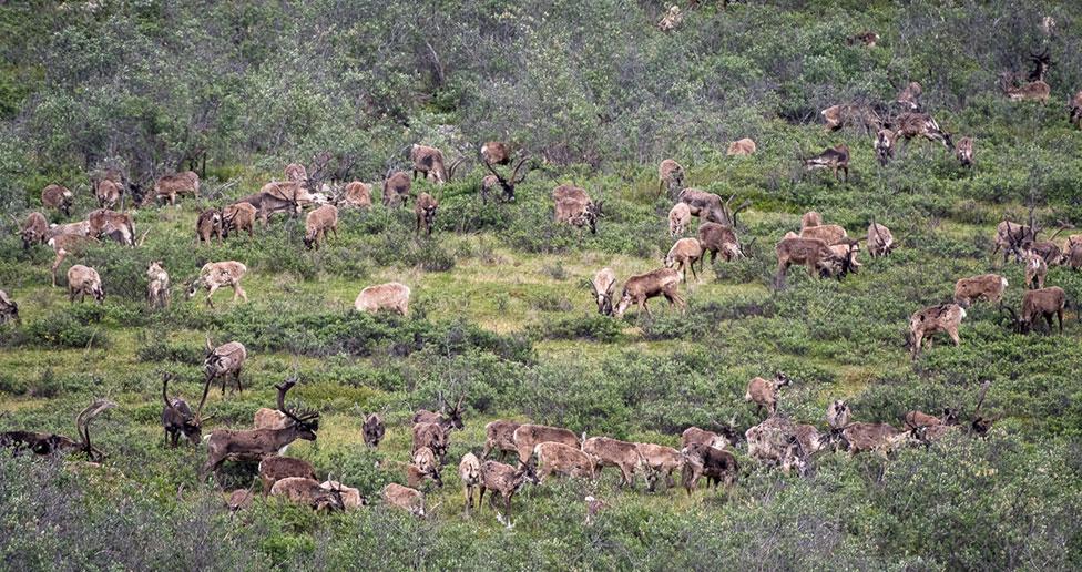 caribou herd arctic