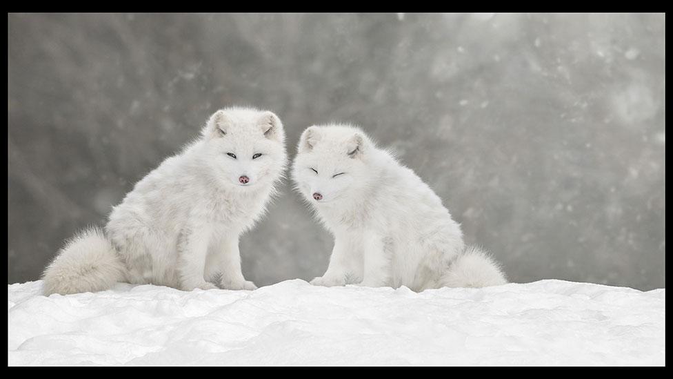 nature wolf winter
