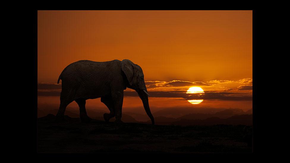safari elephant sunset