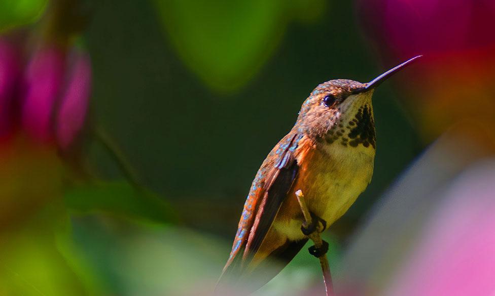 hummingbird colour