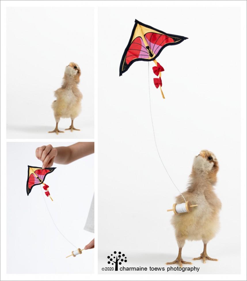 kite chickens