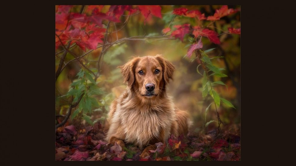 A Golden Retriever in Autumn Leaves