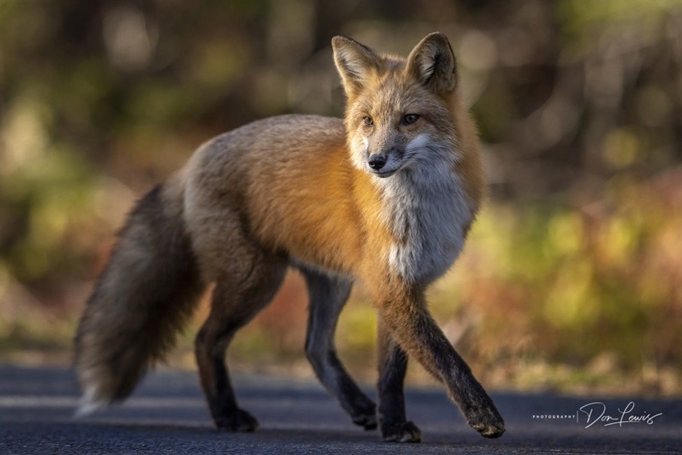A photo of a red fox by Moncton photographer Don Lewis