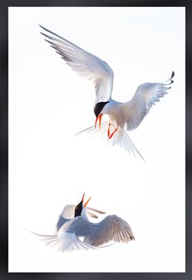 An award winning image of 2 terns fighting in midair by Amanda Beers