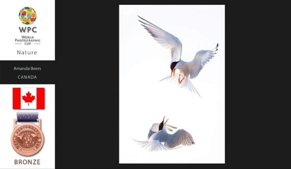 Bronze medal image of two terns fighting in mid air by Amada Beers