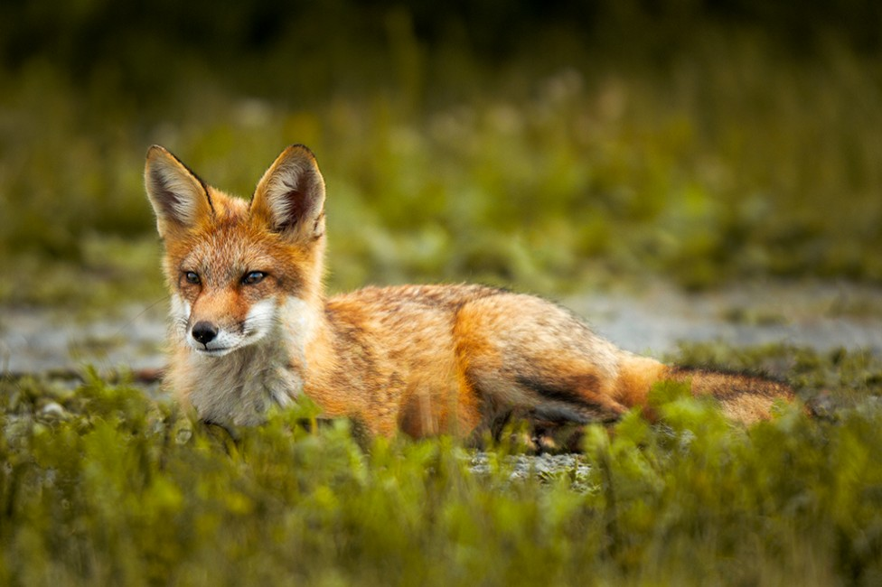 A photo of a red fox in the wild, by Moncton photographer Don Lewis