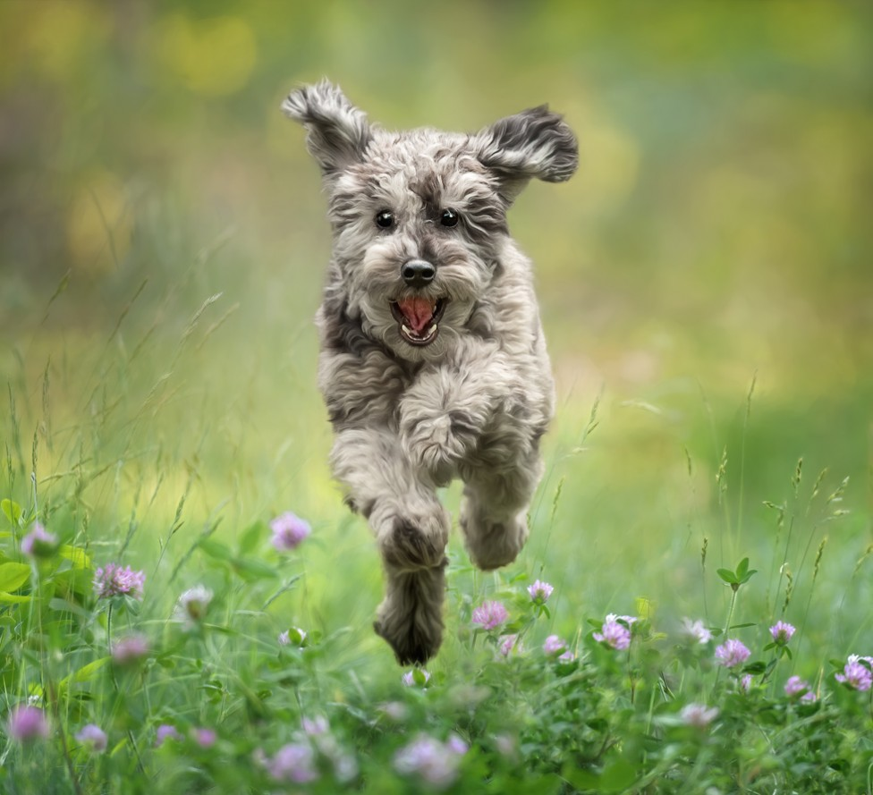 Photo of a happy poodle puppy jumping through a patch of clover, by Tracy Munson