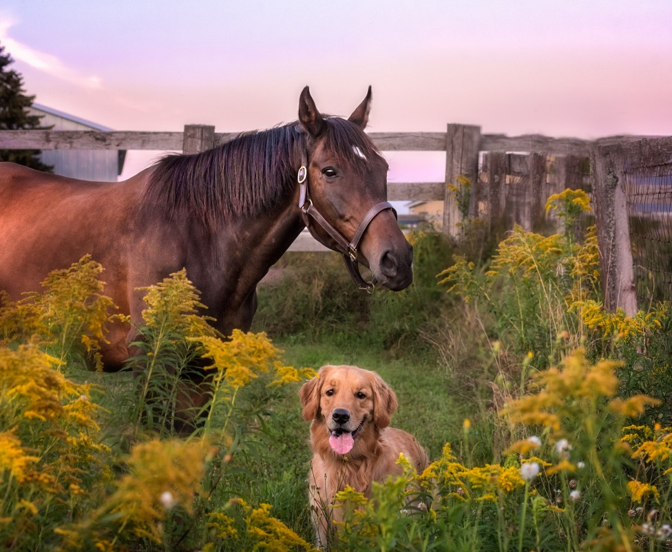 An image of a horse and a golden retriever by Moncton pet photographer, Tracy Munson