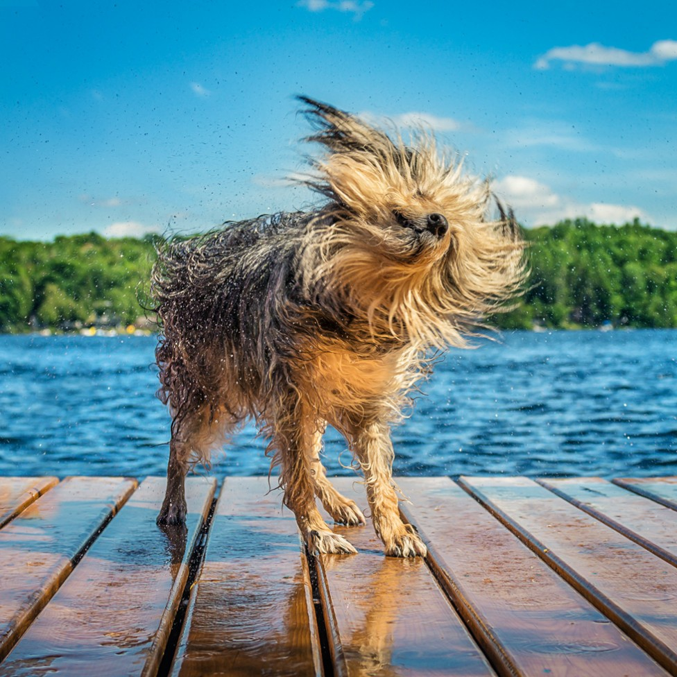 A picture of a dog shaking off water on a dock, by Tracy Munson