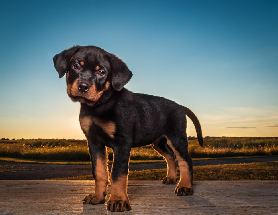 A rottweiler puppy against an evening skyline by Tracy Munson