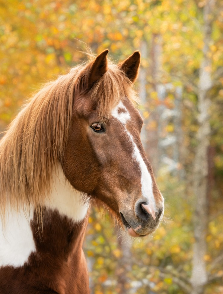 A portrait of a horse by Moncton Pet Photographer, Tracy Munson