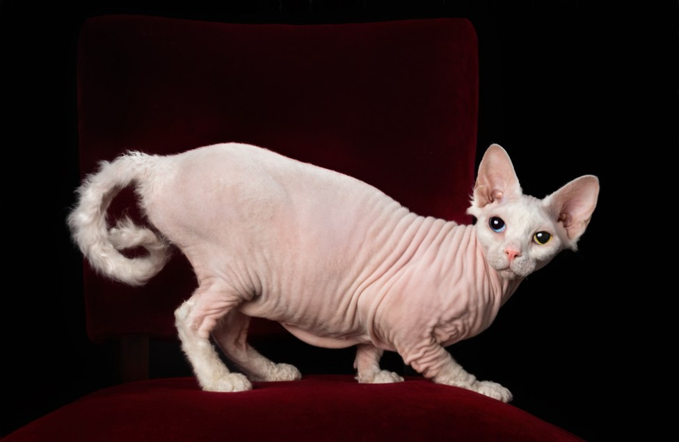 A photo of a hairless Sphynx cat, with her tail curled like a monkey's by Tracy Munson